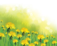Vector   dandelions flowers field. Vector  nature  background,  dandelions flowers field Stock Images