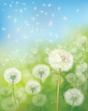 Vector  dandelions flowers. Vector  nature  background,  dandelions flowers field and  blue sky Stock Photos