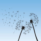 Vector dandelions illustration Stock Photo