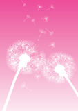 Vector dandelions on pink background Stock Photos