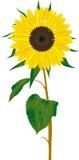 Vector de la flor de Sun Imagen de archivo