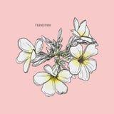 Vector de la flor del Frangipani Foto de archivo libre de regalías