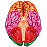 Vector de la opinión del superficie inferior del cerebro humano ilustración del vector