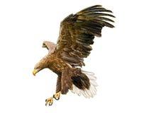 Vector del águila de la cola blanca Imagen de archivo libre de regalías