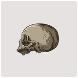 Vector del cráneo Foto de archivo