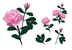 Vector del diseño de la rosa del rosa Fotos de archivo