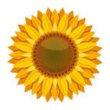 Vector del girasol en el fondo blanco Flor amarilla del sol Foto de archivo