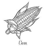 Vector del maíz de la mazorca de maíz Aislado en el fondo blanco Ingrediente alimentario del maíz Imagenes de archivo