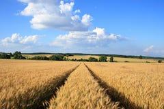 Vector del trigo. Fotografía de archivo