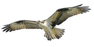 Vector del vuelo del halcón de Osprey Imagenes de archivo