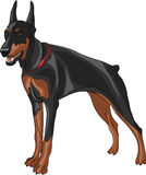 Vector doberman pinscher. Dog breed Doberman pinscher isolated on white background vector illustration