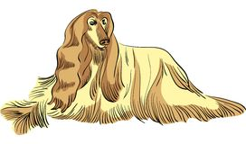 Vector Dog Afghan hound breed color Royalty Free Stock Images