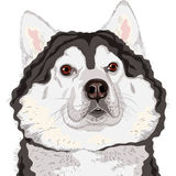 Vector Dog  Alaskan Malamute breed Stock Photo