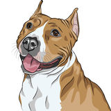 Vector Dog American Staffordshire Terrier smiles. Sketch, closeup portrait of the dog American Staffordshire Terrier breed smiles Royalty Free Stock Photography