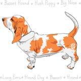 Vector dog Basset Hound breed Stock Image