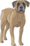 Vector. Dog Boerboel. Stock Photography