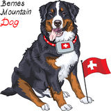 Vector dog breed Bernese mountain dog smiling. Happy Bernese mountain dog with a first aid kit and Swiss flag Royalty Free Stock Photo