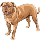 Vector Dog breed French Mastiff Royalty Free Stock Images
