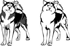 Vector dog breed malamute. Vector standing Malamute dog breed Stock Images