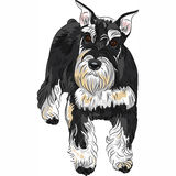Vector dog breed Miniature Schnauzer black and sil Stock Images