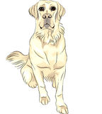 Vector Dog breed white labrador retrievers sitting Stock Images