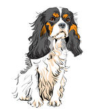 Vector Dog Cavalier King Charles Spaniel Royalty Free Stock Images
