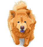 Vector Dog chow-chow breed. Color sketch dog chow-chow runs breed isolated on the white background Royalty Free Stock Images