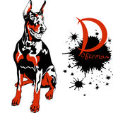 Vector dog Doberman Pinscher breed. Dog Doberman Pinscher breed sitting Stock Image