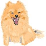 vector Dog German Toy Pomeranian breed smile stock illustration