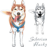 Vector dog Siberian Husky breed Stock Photos