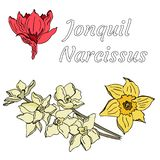 Vector doodle jonquil with name in Latin stock illustration
