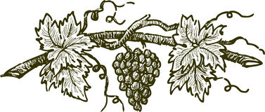 Branch of grape. Vector drawing of a branch with a bunch of grapes stock illustration
