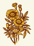 Vector drawing. Bright yellow flowering Tagetes Royalty Free Stock Photography