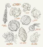 Vector drawing of cabbage set Royalty Free Stock Photography