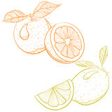 Vector drawing of citrus fruits - orange and lemon Stock Images
