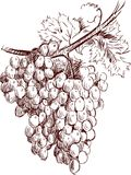 Bunch of grapes. Vector drawing of a cluster of grapes vector illustration