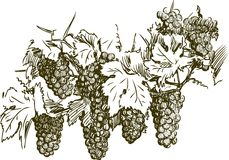 Bunches of grapes. Vector drawing of a cluster of grapes stock illustration