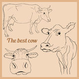 Vector drawing of cow in different positions Royalty Free Stock Photo