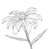 Vector drawing flower of daisy. Vector drawing daisy flower, floral element, hand drawn botanical illustration Stock Photos