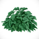 Vector drawing of decorative Datura bush Royalty Free Stock Images
