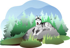 Vector drawing of the dog breed Siberian Husky in  Stock Images