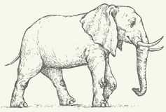 Vector drawing. Elephant. Vector monochrome drawing of a shading ink on paper. Big elephant walks through the desert Stock Photos
