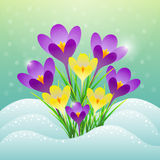 Vector drawing of the first spring crocus flowers Royalty Free Stock Photos