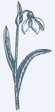 Vector drawing. First spring flower - Snowdrop Stock Image