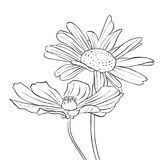 Vector drawing flowers of daisy. Vector drawing daisy flowers, floral background, hand drawn botanical illustration Stock Photo