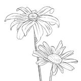 Vector drawing flowers of daisy. Vector drawing daisy flowers, floral background, hand drawn botanical illustration Royalty Free Stock Image