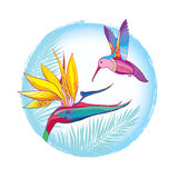 Vector drawing with flying Hummingbird or Colibri with Strelitzia reginae in contour style isolated on white background. Stock Photos