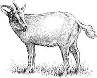 Gazing goat. Vector drawing of a grazing goat vector illustration
