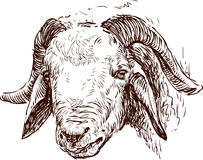 Head of a ram Stock Photo