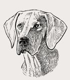 Sketch portrait of a hunting dog Royalty Free Stock Images